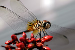 thumbnail of gallery215.com/things/nature/dragonfly