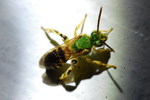 thumbnail of gallery215.com/things/nature/insect_macro