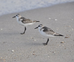thumbnail of gallery215.com/things/nature/sandpipers